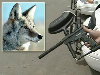 VIDEO: A city in Colorado wards off coyotes with paintball guns.