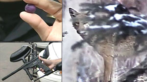 PHOTO Colorado cops are trying to ward off further coyote attacks on pets and humans by shooting the wild animals with paintballs.