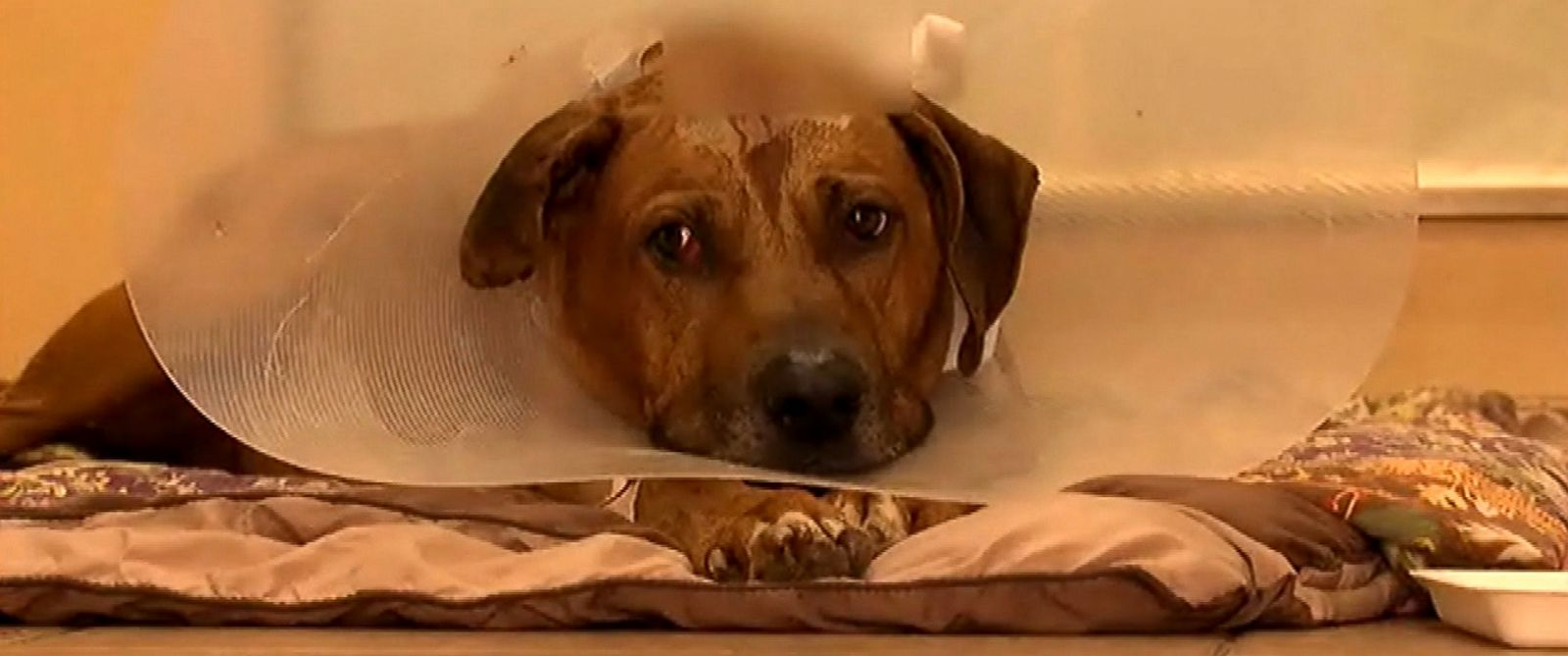 PHOTO: Chris Watsons dog, Anubis, survived a gunshot wound to his head during a home burglary on Oct. 5, 2015 in St. Petersburg, Fla.