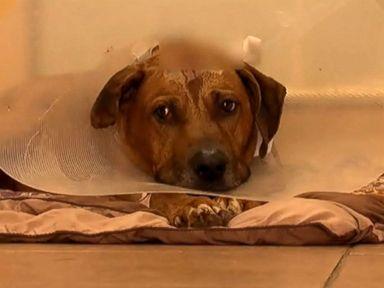 Dog Who Survived Gunshot in 'High Spirits'