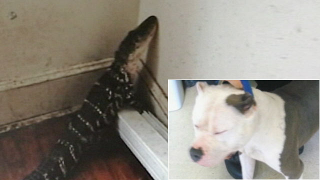Photo A 4 Foot Alligator And Pit Bull Were Found Abandoned In