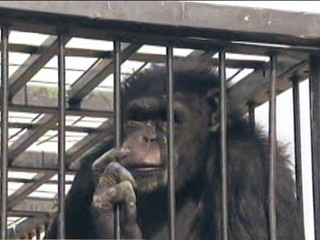 Las Vegas Chimp Escapes Again