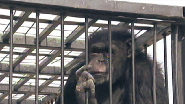 PHOTO: A pet chimpanzee broke free of her enclosure for the second time in a month, prompting officials to secure her in a cage for large cats instead of her Las Vegas home.