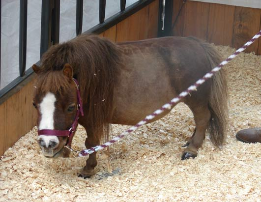 The world's smallest horse came out in celebration of the new exhibit on