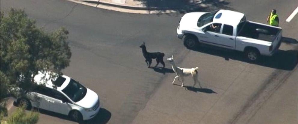 PHOTO: Llamas were on the loose in Sun City, Ariz., Feb. 26, 2015.