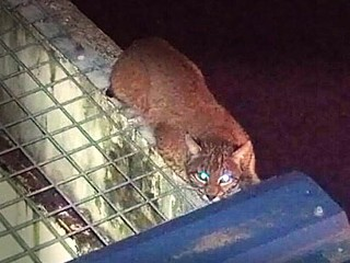 Bobcat Breaks Into Washington Prison