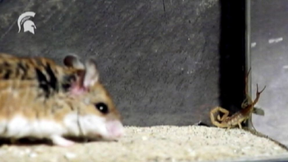 VIDEO: The grasshopper mouse can turn scorpion toxins into painkillers, allowing it to attack its prey.