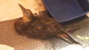 VIDEO: Oily Bird Recovered in Louisiana