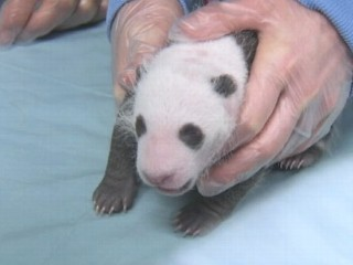 Watch: San Diego Zoo's Baby Panda Bear Cub Gets Checkup