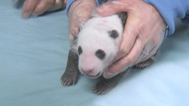 VIDEO: San Diego Zoos Baby Panda Bear Cub Gets Checkup
