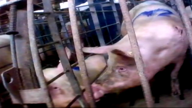 PHOTO: Undercover video just released by the group Mercy for Animals provides a shocking look into one of the nations largest pork producers.