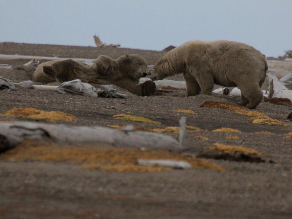 Polar bears seen outside of the Alaskan village of Kaktovik.