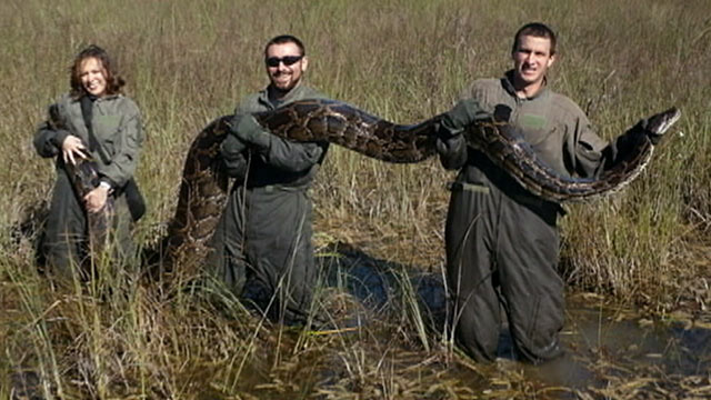 PHOTO: Florida wildlife officials are launching a snake hunting mission to help curb the growing population of