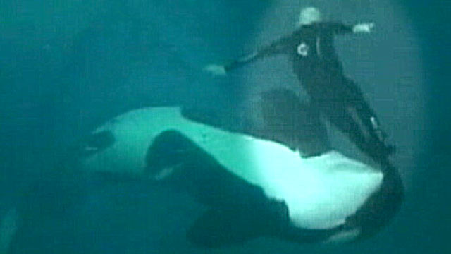 PHOTO: Footage of veteran trainer at Sea World who in 2006 was grabbed by his leg and dragged under water by a 5000-pound killer whale has just been released to the public.