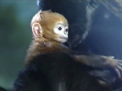 VIDEO: Chicagos Lincoln Park Zoo unveils a baby langur born with an unusual coloring.