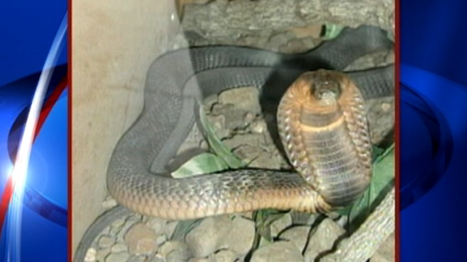 VIDEO: Bronx Zoos Egyptian cobra is now called Mia, following online voting campaign.