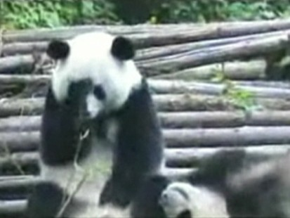 VIDEO: Panda bear sneezing.