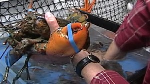Video: Lobster fishing may be banned in parts of New England.