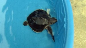Video: Oiled sea turtle rescued from the Gulf.