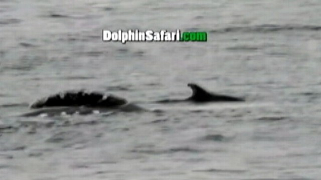 VIDEO: Two gray whales are seen mating off California coast during migration to Mexico.