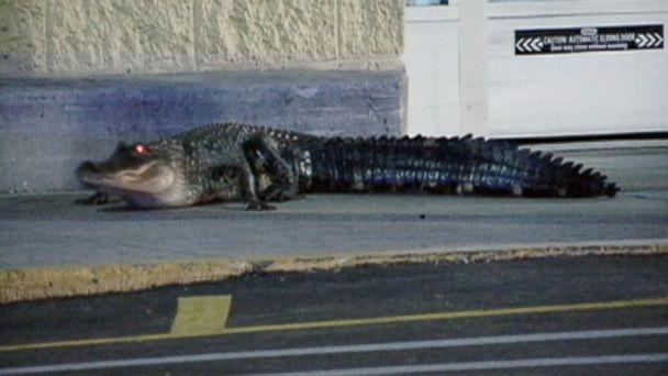 abc wkmg alligator walmart ll 131021 16x9 608 Alligator Crawls Around Florida Walmart