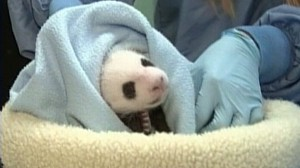 VIDEO: 5-month-old panda named Yun Zi is ready to meet the public at the San Diego Zoo.