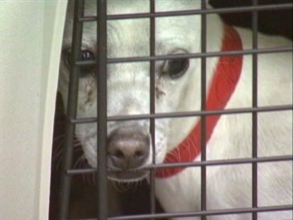 VIDEOl California animal shelters ship planeloads of Chihuahuas to other states for adoption.