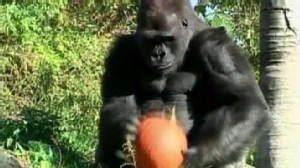 VIDEO: The great apes and other creatures dine on pumpkins at Detroit Zoo.