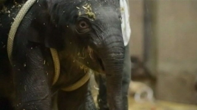 VIDEO: Zoo officials are negotiating with Have Trunk Will Travel to get ownership of the calf.