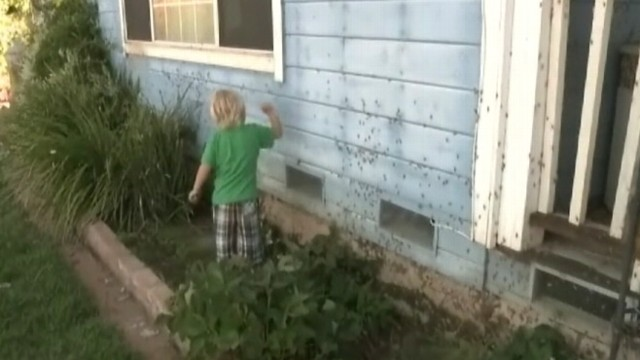 VIDEO: Swarms of insects invade rural town of Herald, devouring vegetation.