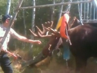 Watch: Moose Wages War Against Swing Set