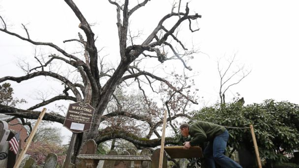 PHOTO: In a photograph taken Friday, April 21, 2017, Keith Keiling carries boards to be used for support beams in holding a 600-year-old white oak tree on the grounds of Basking Ridge Presbyterian Church in Bernards, N.J.