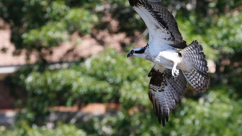 PHOTO: An adult osprey flies to it's nest during a survey and tagging operation of the Virginia Aquarium & Marine Science Center on the Lynnhaven River in Virginia Beach, Va., June 9, 2017.