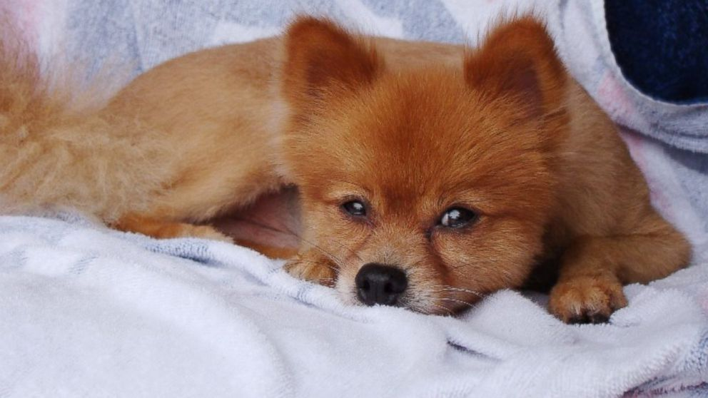 Reward Grows in Murder of Tiny Dog (photo)