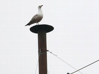 Seagull Perched on Sistine Chapel Chimney Draws Twitter, Meme Antics