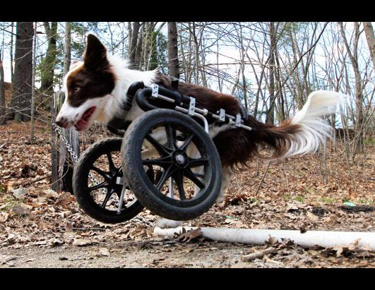Roosevelt the Border Collie Gets Around on New Wheels