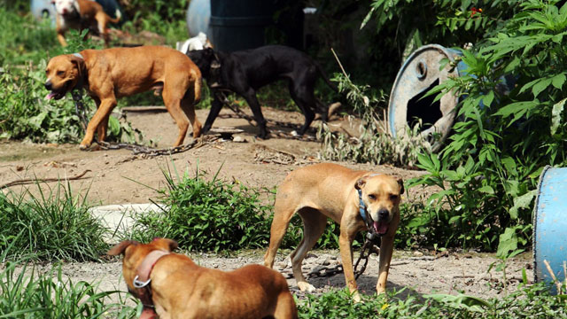 PHOTO: Dogs stand chained before being taken away by Humane Society officials in St. Louis. The dogs were among 350 mostly American Pit Bull Terrier dogs seized during raids in five states.