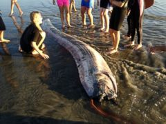 PHOTO: This Oct. 18, 2013 image provided by Mark Bussey shows an oarfish that washed up on the beach near Oceanside, Calif. This rare, snakelike oarfish measured nearly 14 feet long.