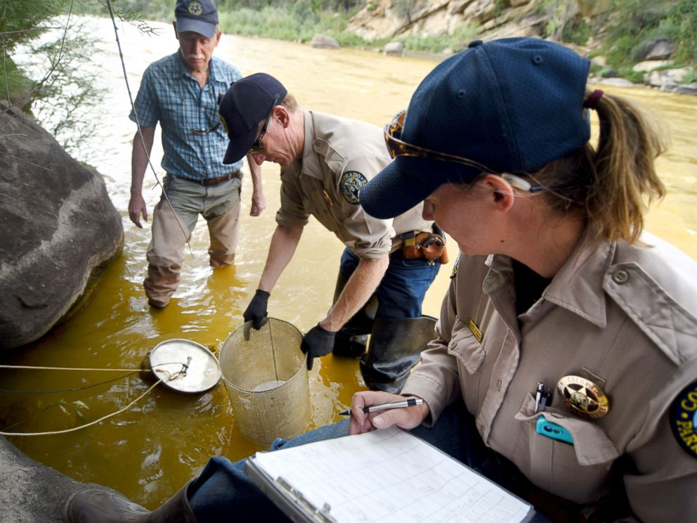 PHOTO: Officials from Colorado Parks & Wildlife and a retired aquatic biologist check on cages with Rainbow trout fingerlings on Friday Aug. 7, 2015, on the Animas River in Durango, Colo.
