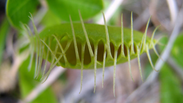 PHOTO: In this 2009 photo provided by The Nature Conservancy, a Venus flytrap is open, in the Green Swamp Preserve in Brunswick County, N.C.  Three Brunswick county residents were arrested and charged with poaching Venus flytraps from The Nature Conservan