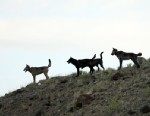 PHOTO: The Lamar Canyon wolf pack are seen on a hillside in Yellowstone National Park, Wyo., Aug. 2012.