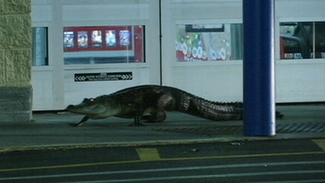 VIDEO: Walmart employees kept store doors locked to protect customers from the 6-foot alligator.