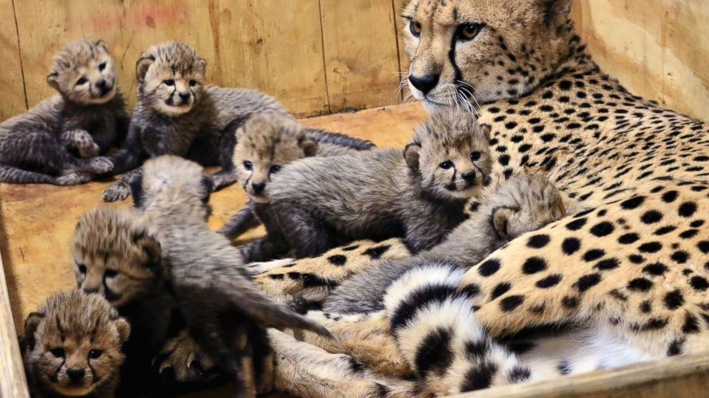 Cheetah welcomes 8 cubs at St Louis Zoo ABC News