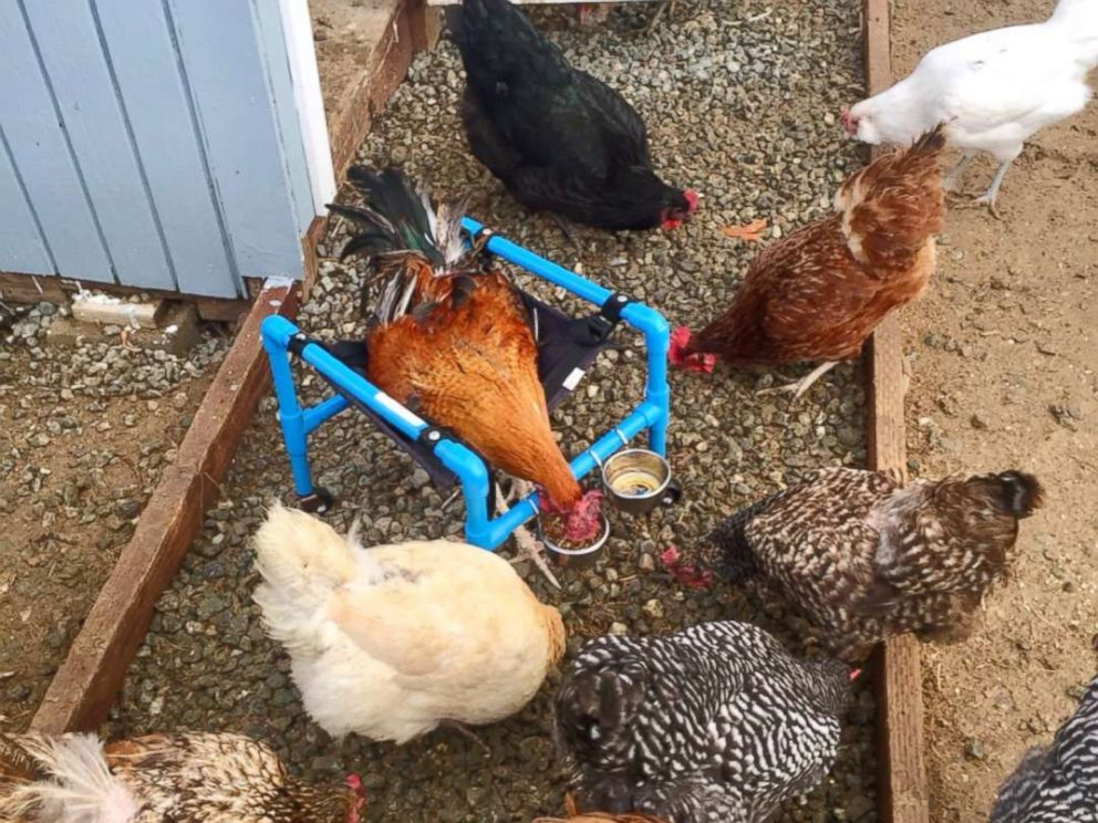 PHOTO: Roo is surrounded by his fellow adopted chickens on the Smiths ranch as he works to regain his walking ability in his therapy wheelchair in this undated photo.