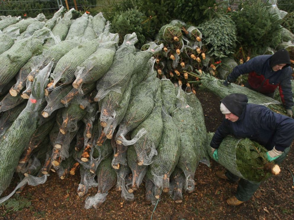 photo workers at an outdoor christmas tree market prepare christmas trees for sale - Real Christmas Tree Prices