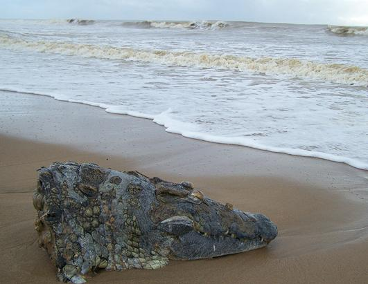 Decapitated Crocodile Washes up on South African Beach
