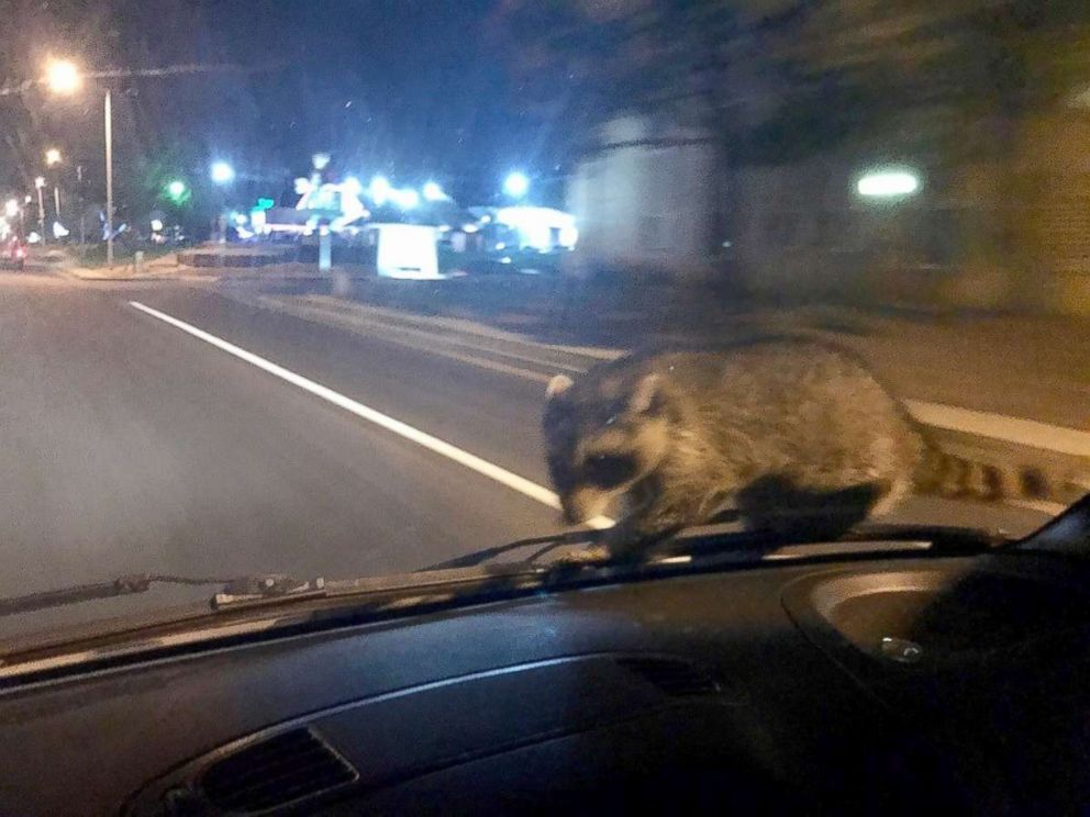 Daredevil raccoon hitches ride on windscreen of a police vehicle