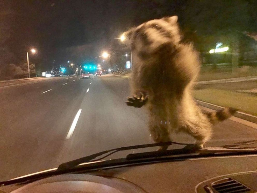 Raccoon hitches ride on windshield of police officer's patrol vehicle