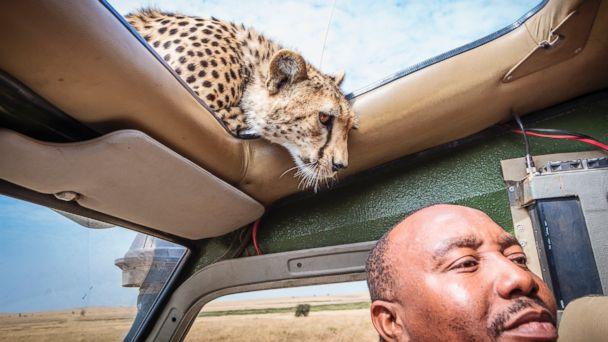 ct cheetah car safari kb 140314 16x9 608 Unbelievable Photos of a Cheetah Playing Peak A Boo