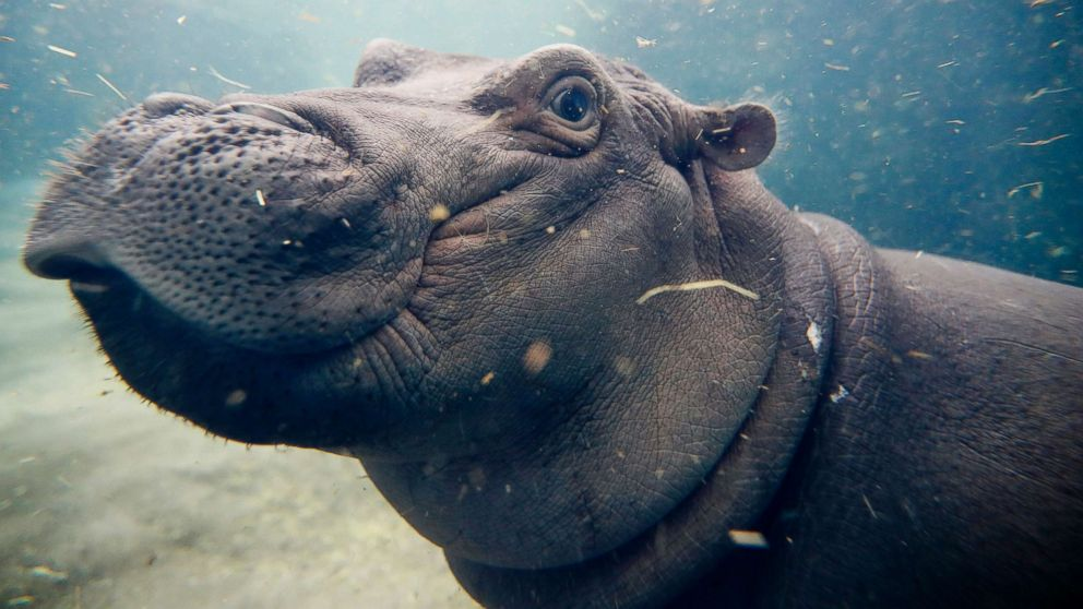 Meet Fiona the hippo, whose journey to health has made her a social media star